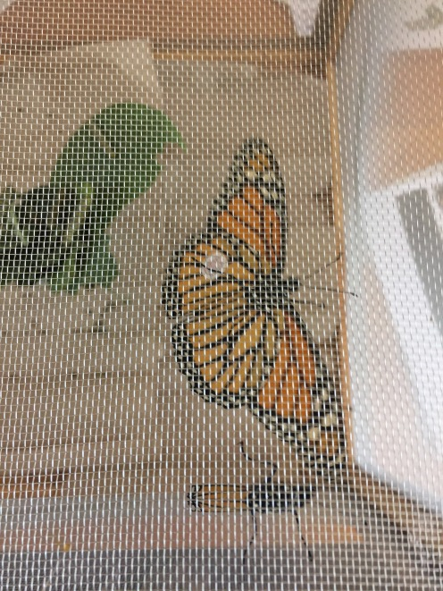 Monarchs Hatching at the Visitor's Center
